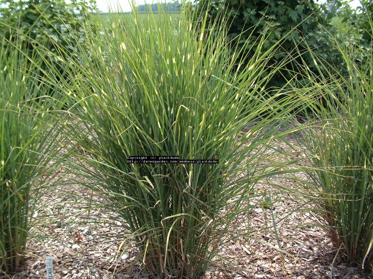 Full size picture of little dot grass eulalia maiden for Landscaping with zebra grass
