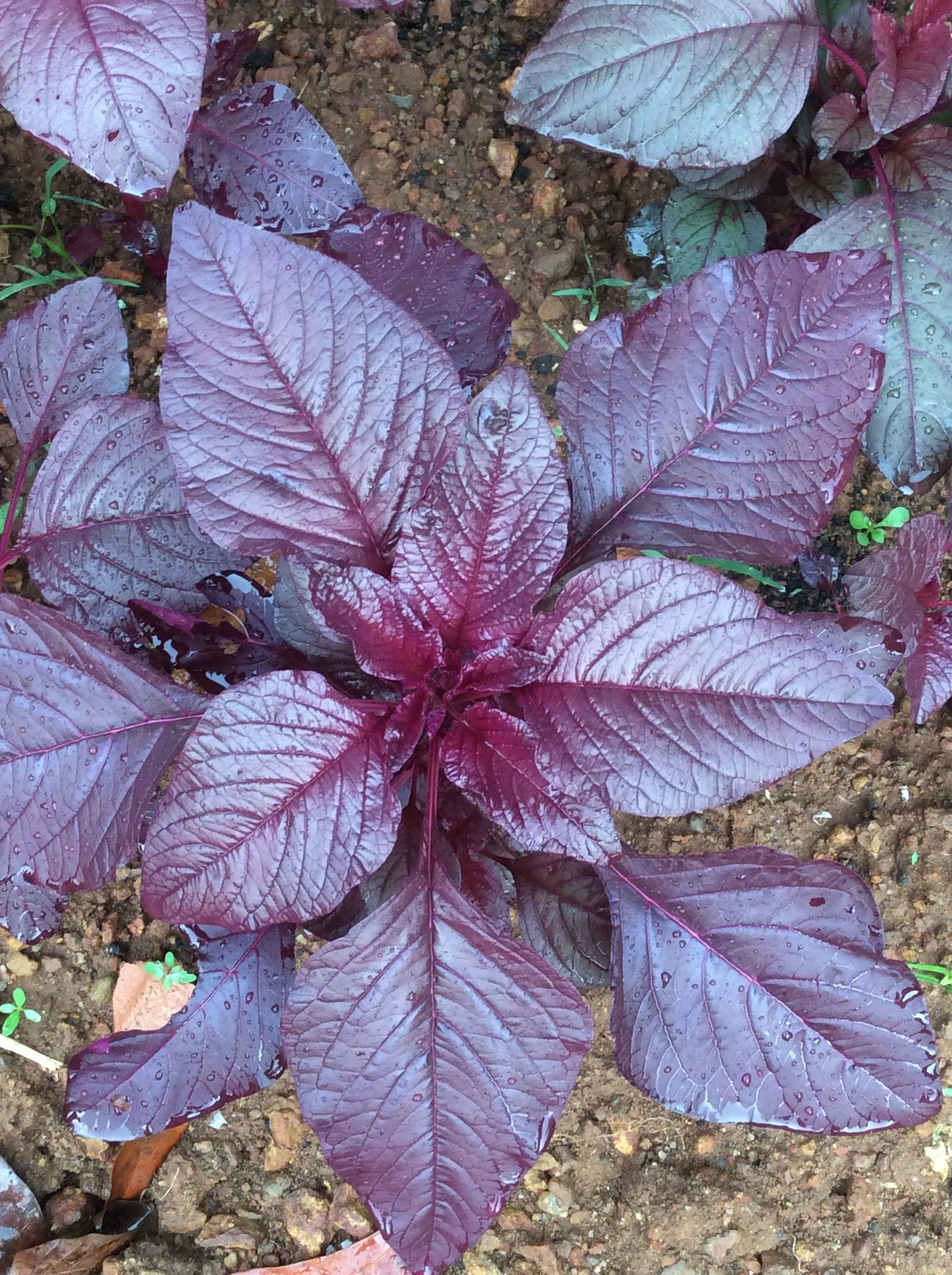 How To Grow Your Own Red Spinach Lifezshining Garden Soil Mix Red Spinach Mother Plant