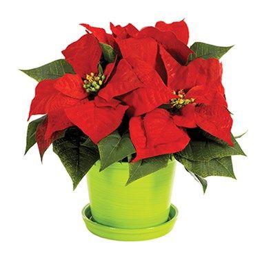 CHRISTMAS POINSETTIA SURPRISE | Glorious Flowers