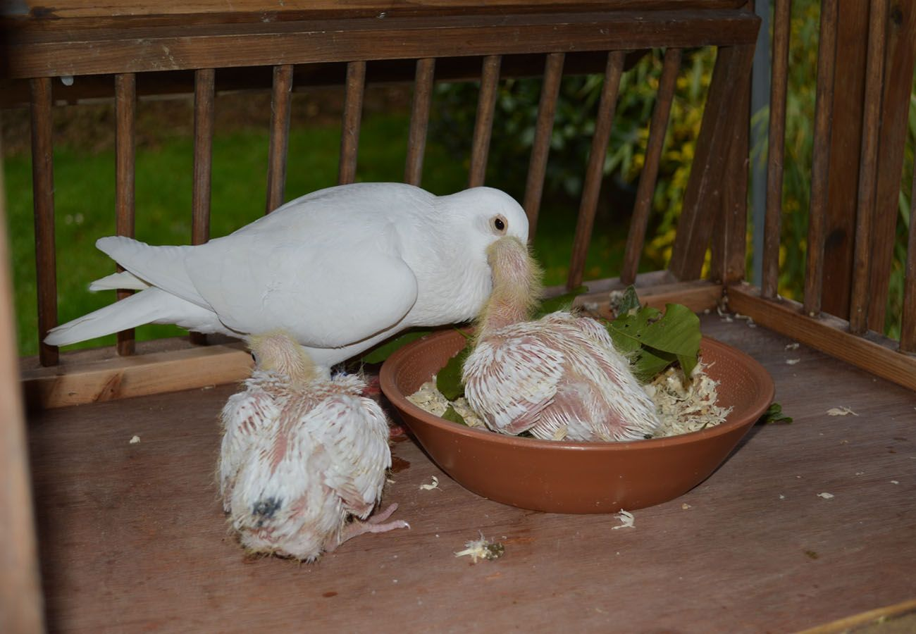 #White #Doves - What's for dinner mum? Part of the White Petals and Pearls Team http://www.whitepetalsandpearls.com #Birds #Animals