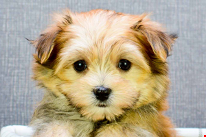 Morkie Puppies For Sale Ohio Morkie Pups Online Yorkie