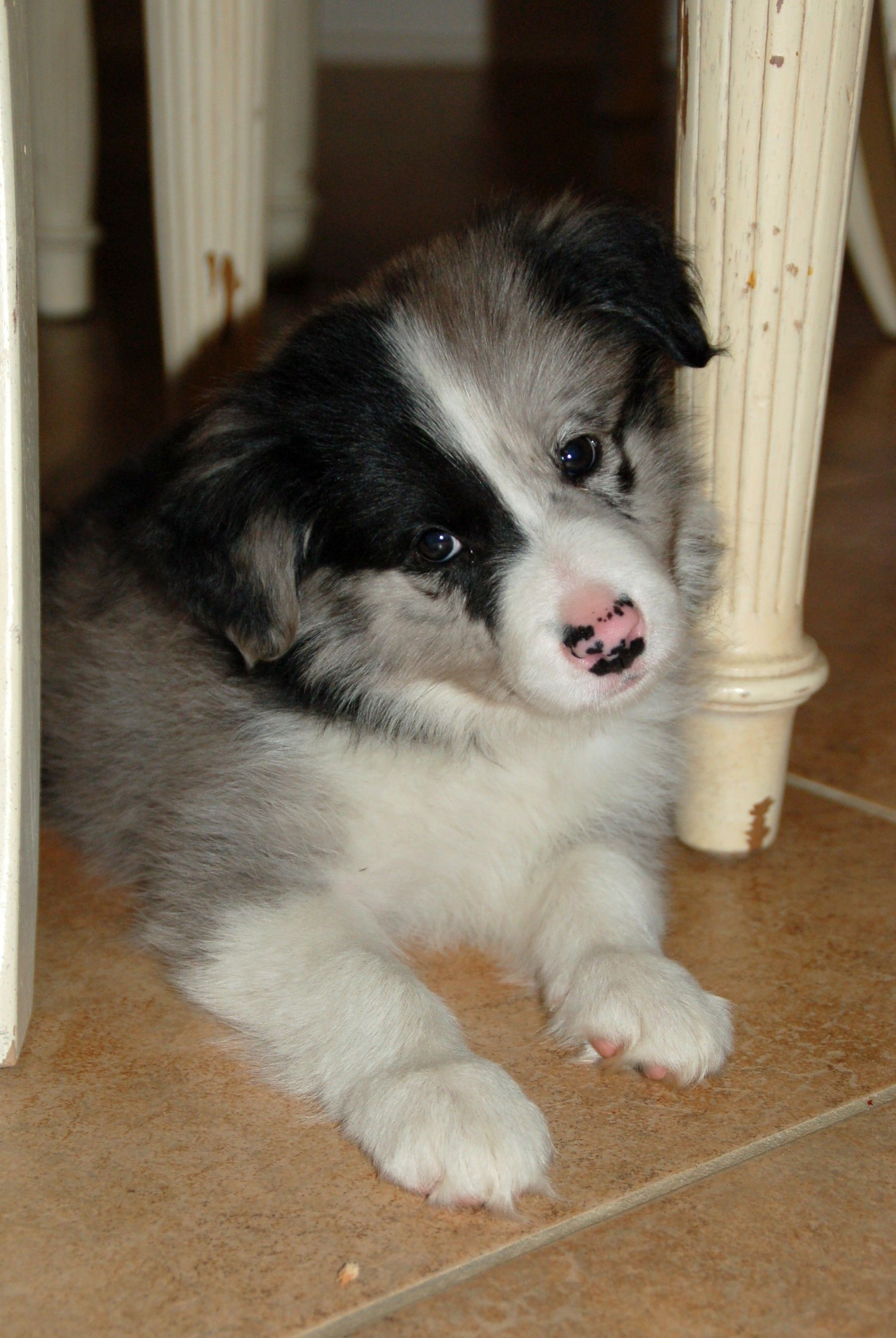 Mom Of 3 With A Phd Border Collie Puppies Collie Puppies Puppies And Kitties