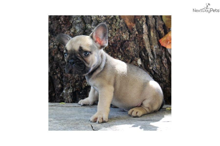 French Bulldog Puppy For Sale Near Springfield Missouri