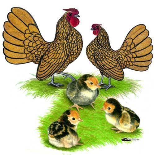 Gold Laced Sebright Bantam Chickens For Sale