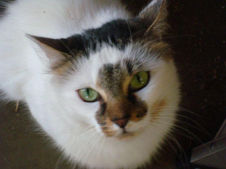 Sophia, beautiful markings and green eyes.