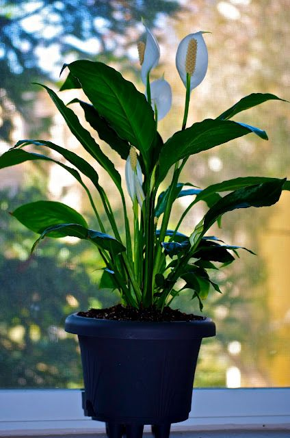 Peace Lily Best House Plant Ever So Easy To Take Care Of