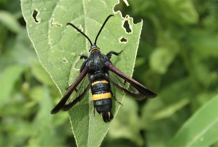 黒くてドロバチにそっくりな蛾 ガ ヒメアトスカシバ 蛾 蜂 ハチ