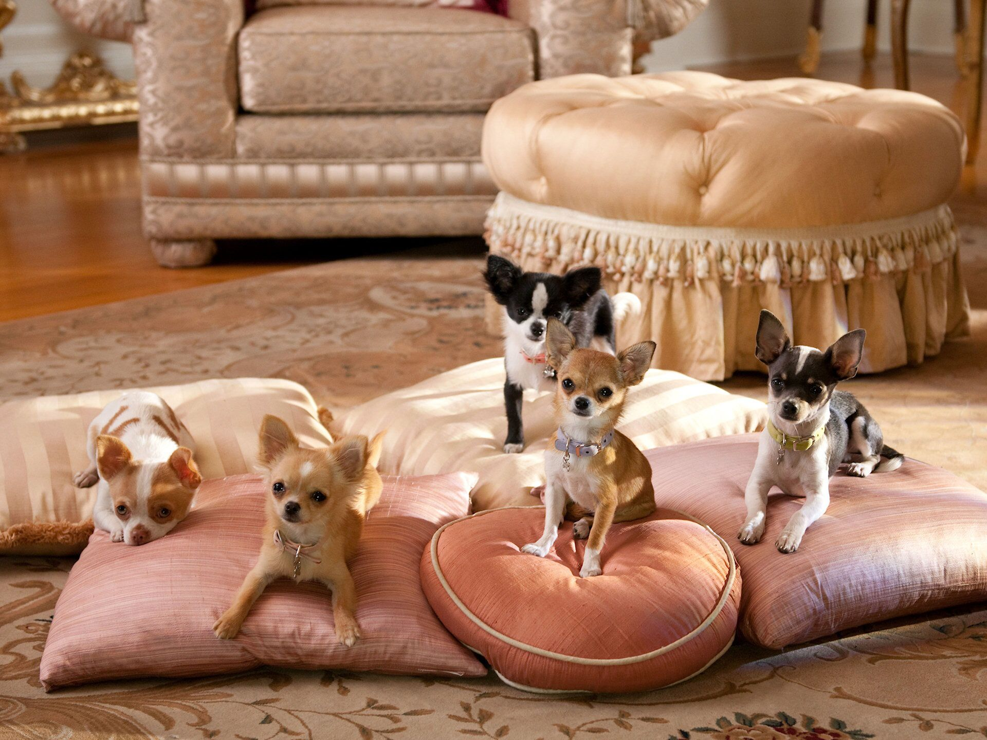 Beverly Hills Chihuahua With Images Chihuahua Puppies Cute