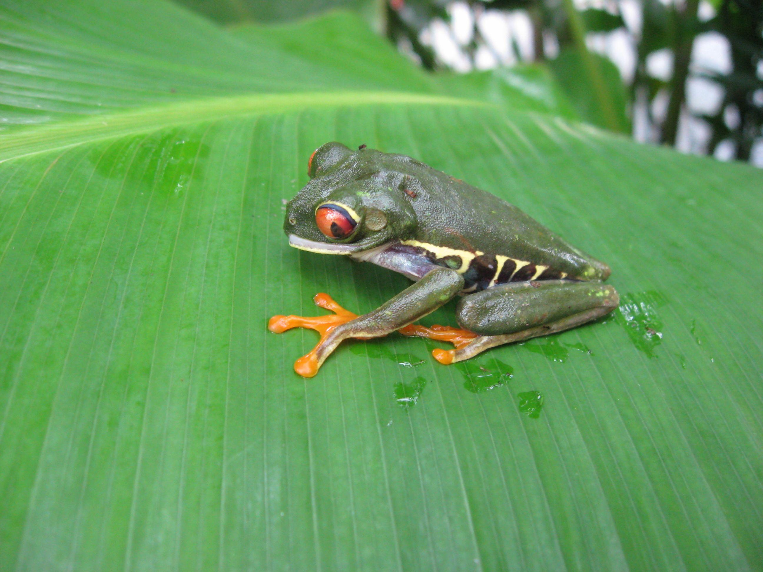 Boomkikker In Costa Rica