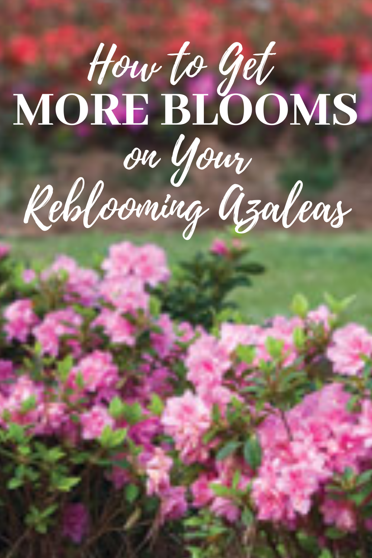 How To Get More Encore Azalea Blooms In 2020 Azaleas Care Azaleas Pruning Azaleas