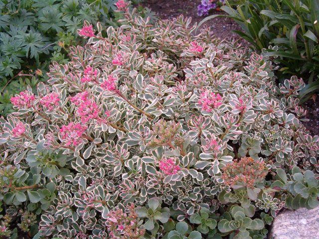 Sedum Spurium Tricolor Leaves Are Variegated In Green Creamy