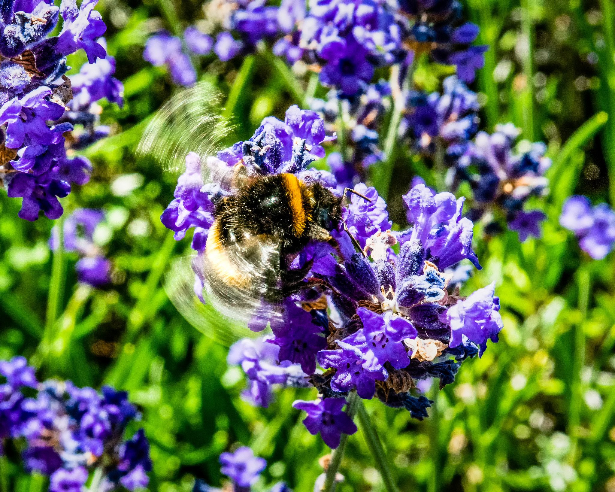 Bumblebee taking off | Lavender flowers, Bumble bee, Photo