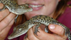 Saltwater Crocodile Babies