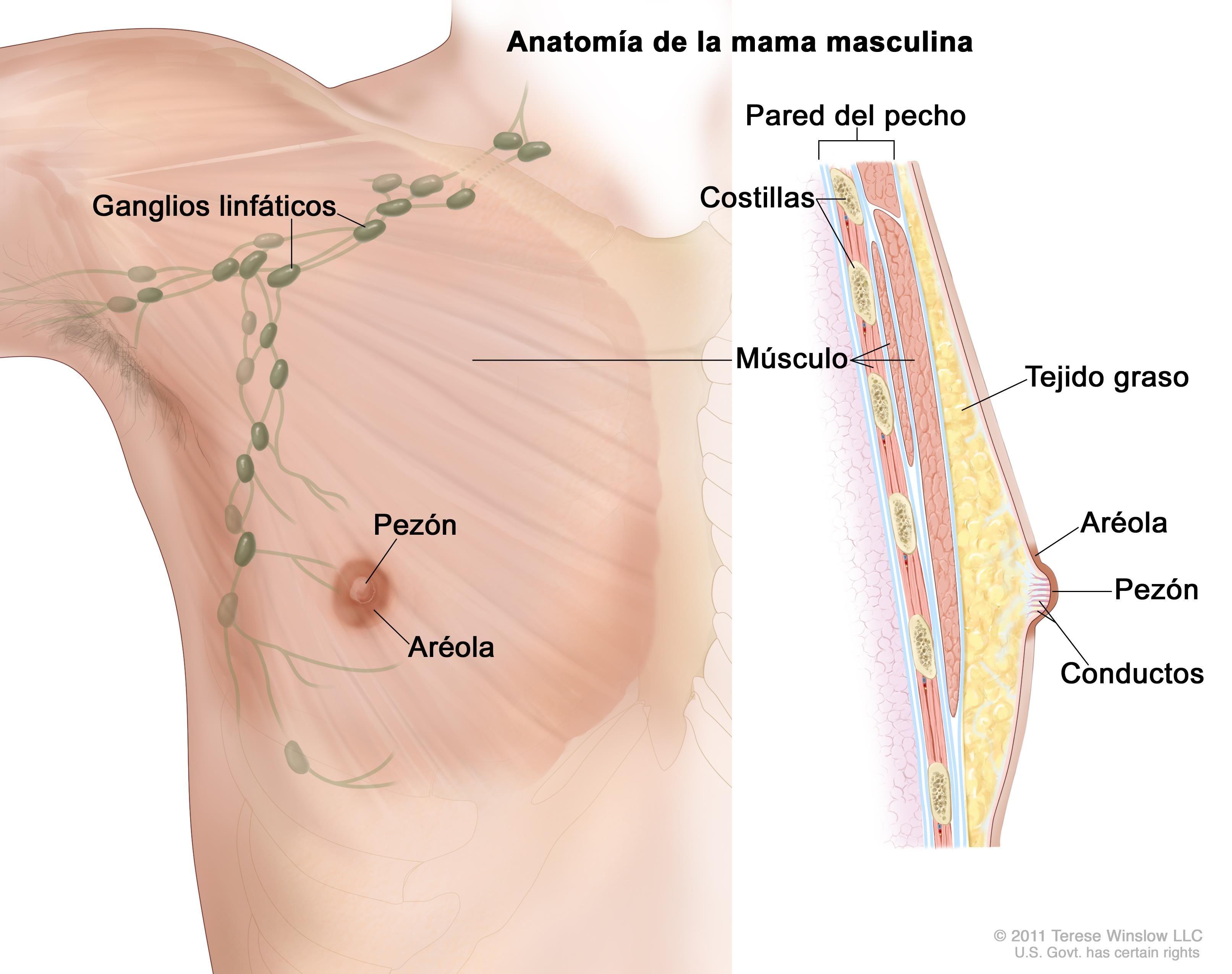Anatomía de la mama masculina | Mama masculina | Pinterest