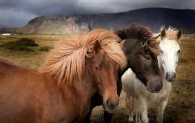 Bildergebnis für icelandic horse