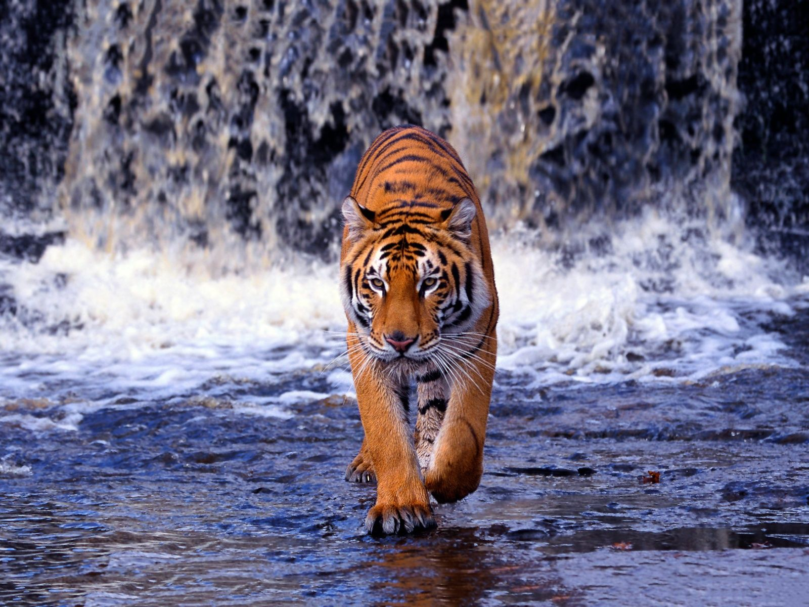 bengal tiger hd wallpapers   android   pinterest   bengal tiger