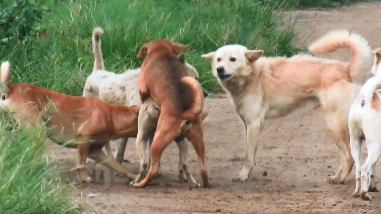 Hunde Versuchen Mating lustig machen