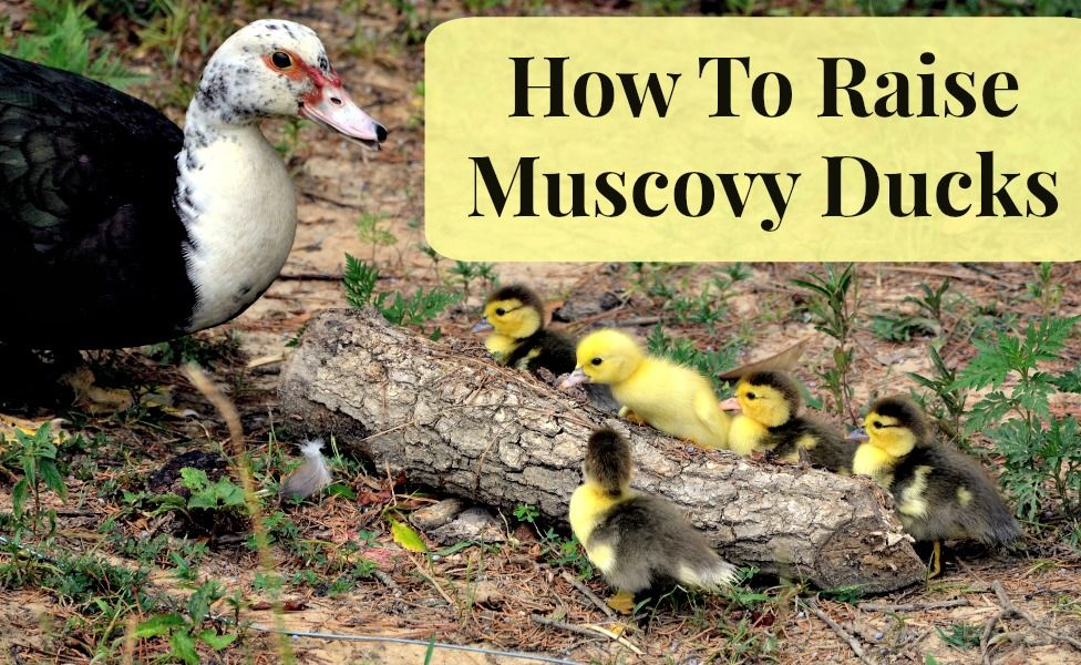How To Raise Muscovy Ducks | The Best of MomPrepares