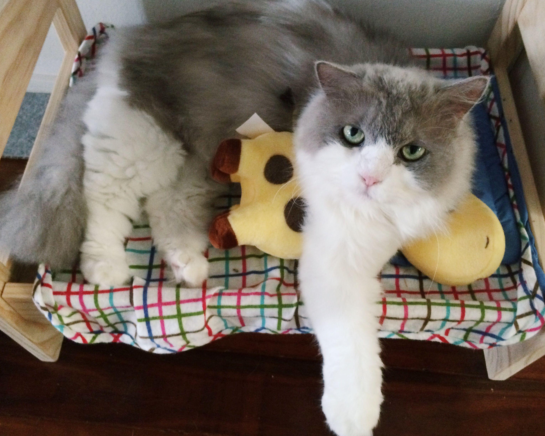 Belle Cat | Pawshake Singapore