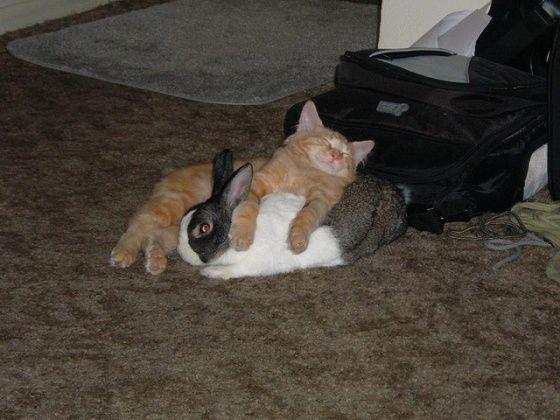Cat has a pet bunny.