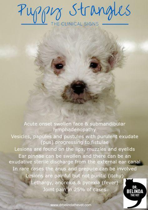 Puppy Strangles Juvenile Cellulitis Jojo S Story Dr Belinda The Vet Puppies Vets Dog Blog