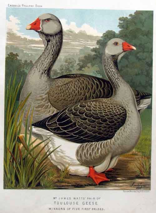 toulouse geese illustration by j w ludlow an artist who specialized in painting domestic. Black Bedroom Furniture Sets. Home Design Ideas