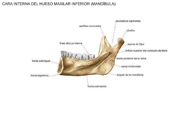 Huesos Que Componen La Cavidad Oral Hueso Mandibular O Maxilar Inferior Cavidad Oral Huesos Piezas Dentarias