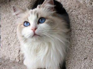 Ragdoll Cat Blue Bi Color Female Http Springvaledolls Com Ragdoll Cat Cute Cats Photos Cats