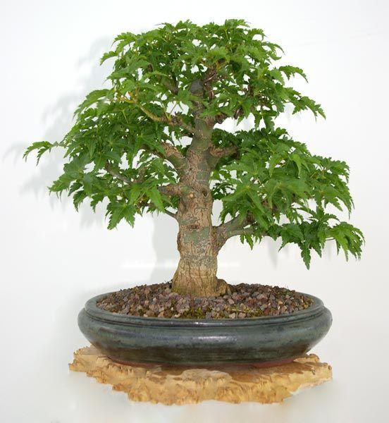 Japanese Maple Acer Palmatum Shishigashira Bonsai In Summer