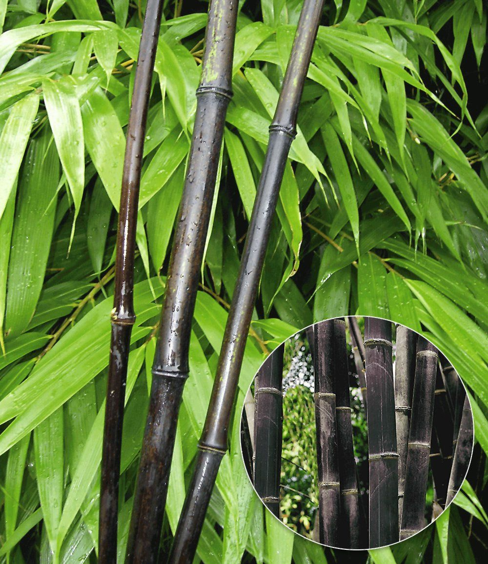 Schwarzer Bambus Black Bamboo Garten Pinterest