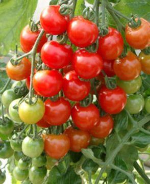 収穫時期の見極め方 庭に植えた植物 家庭菜園 トマトの栽培