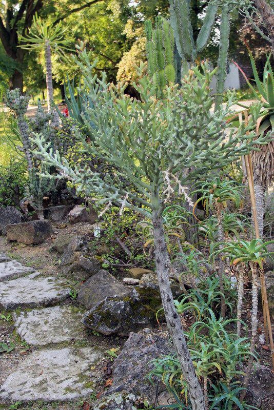 euphorbia hamata (haw.) sweet - botanische garten der universität, Innenarchitektur ideen