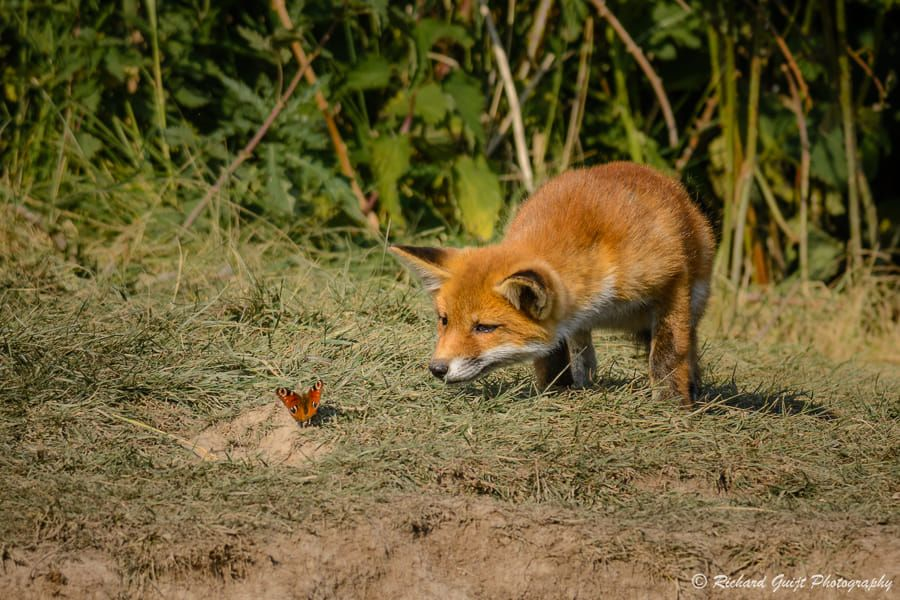 Youthful curiosity / 500px Fox, My spirit animal, Spirit