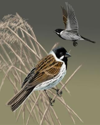 Reed Bunting Emberiza Schoeniclus Of The Uk And Ireland Common Birds Passerine Agricultural Land