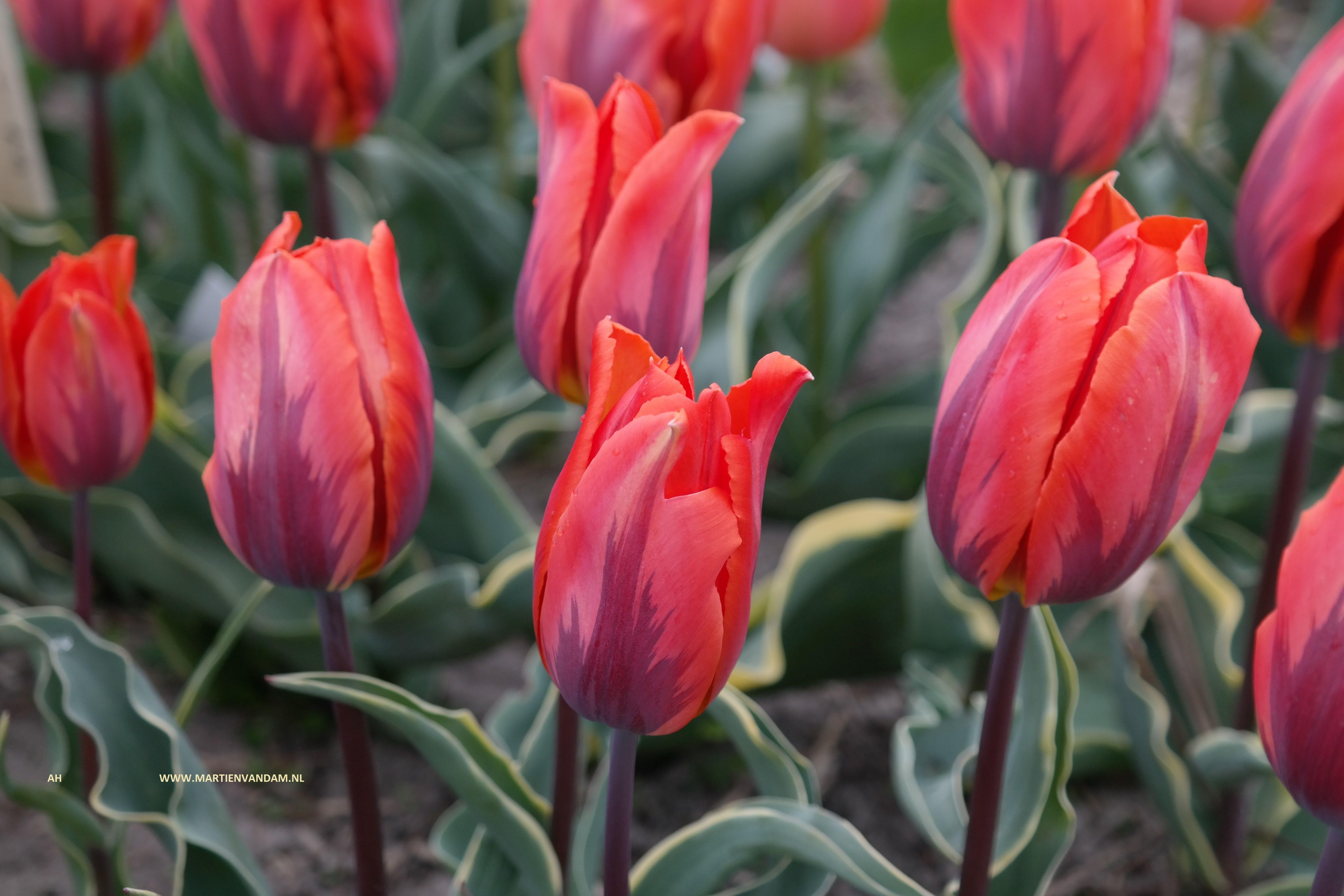 Tulipa 'Fire Queen' – een enkele vroege tulp (april) kan .35 hoog worden