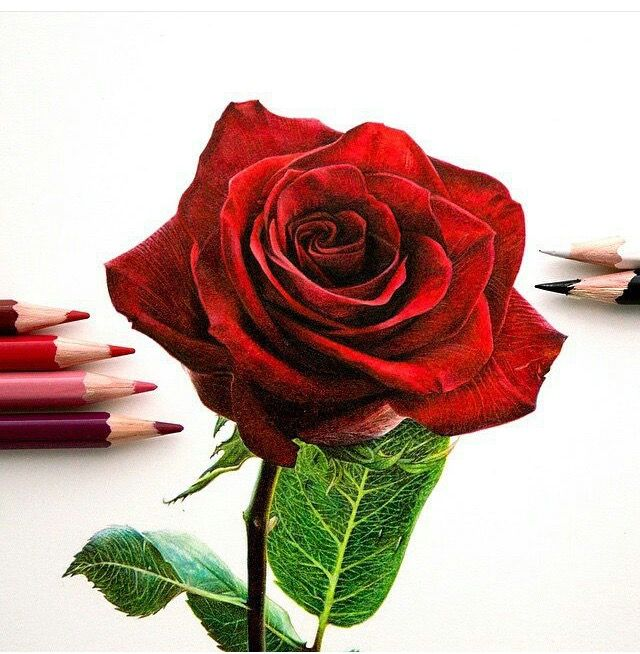 So Realistic Rose Drawing Realistic Rose Drawing Rose Art Rose Art Drawing