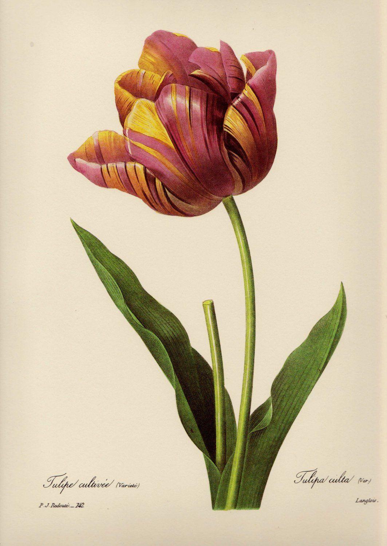 Beautiful Vintage Tulip Print Redoute Pink Flower Art Print