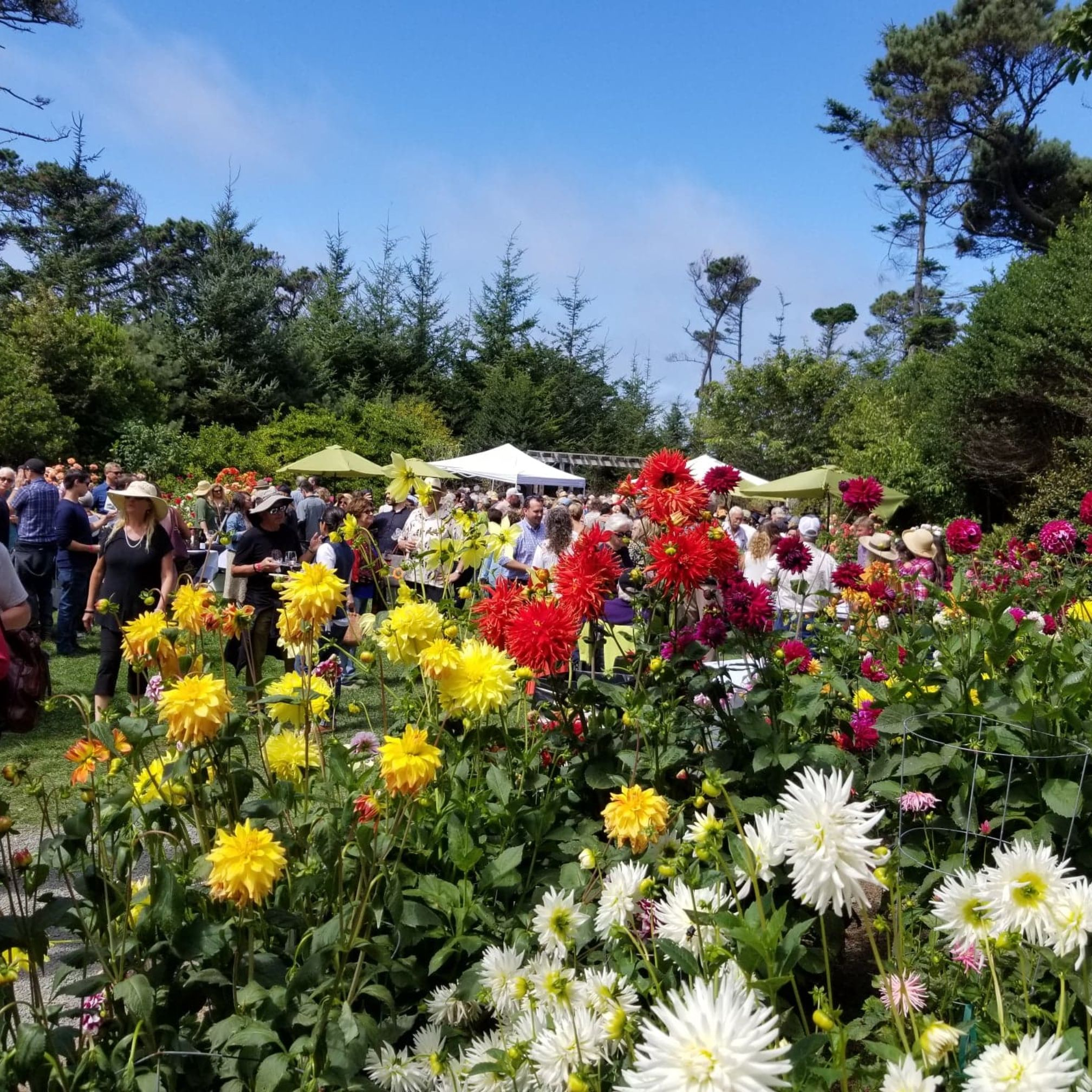 Colorful dahlias blooming at mendocino coast botanical