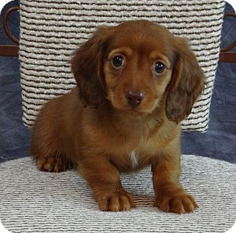 This little man needs adopted! He is a mini dachshund that