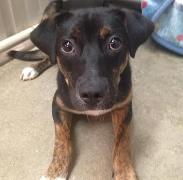 Adopt Meggy On Petfinder Dog Adoption Terrier Mix Dogs Animal Rescue