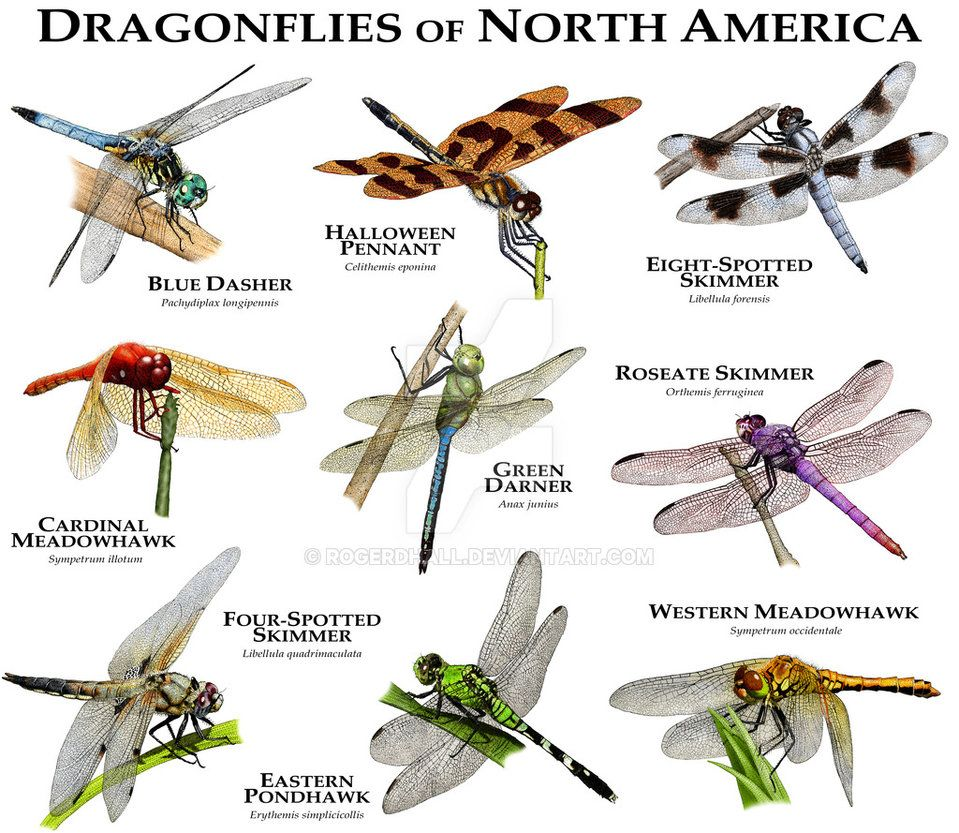 Dragonflies Of North America By Rogerdhall