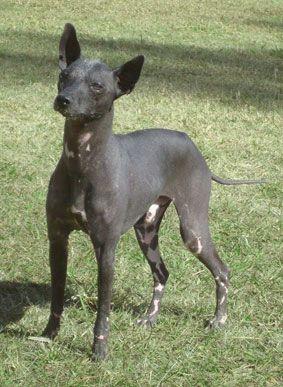 Argentine Pila Dog Wikipedia Dogs Australian Dog Breeds
