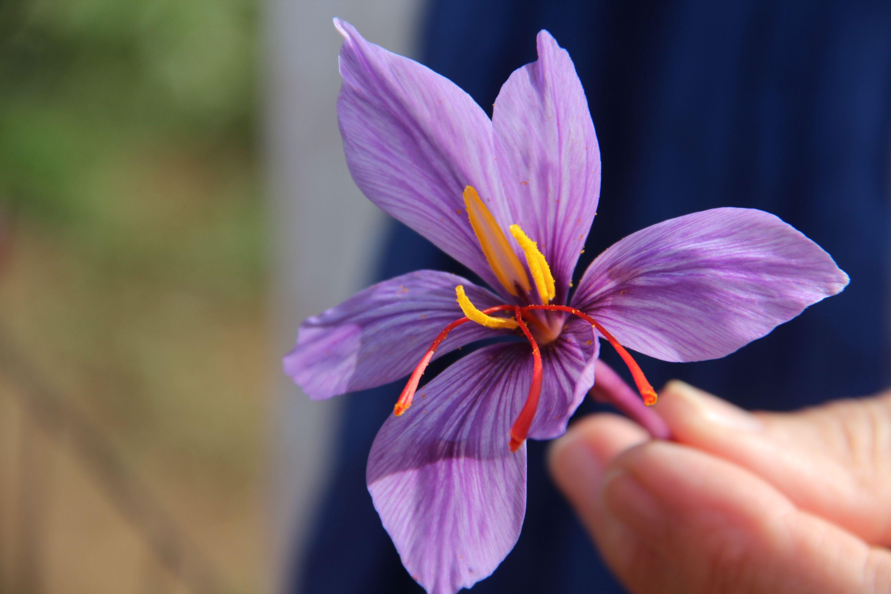 Healthfully Saffron Benefits Saffron Saffron Spice
