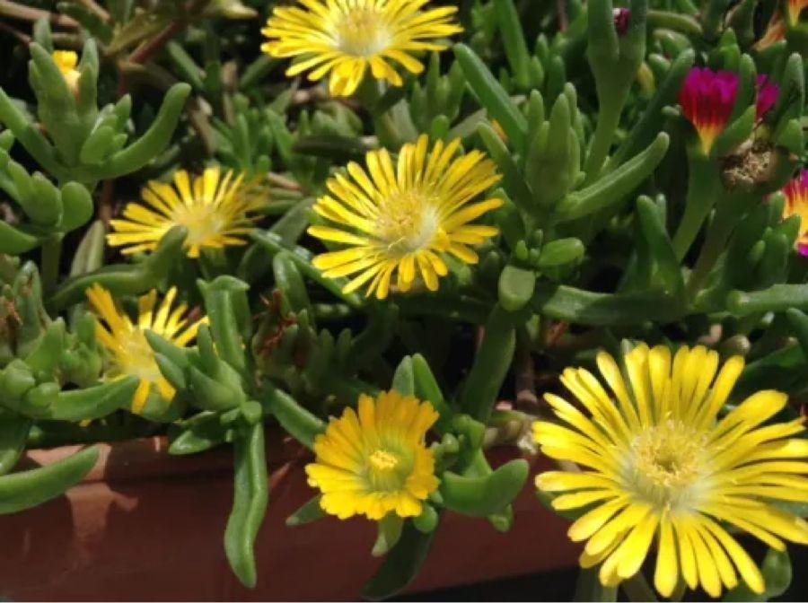 Pin von Thomas Van de Loo auf Sukkulenten Mittagsblume