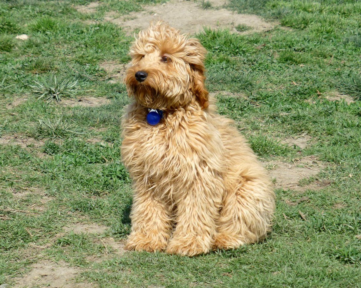 Mini Goldendoodle Full Grown What size is your mini ...