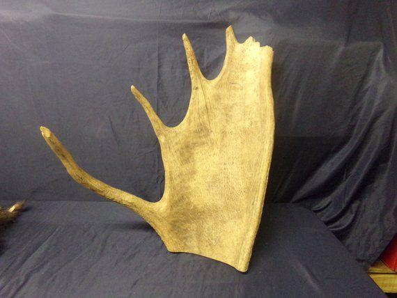 Real animal bone part moose antler horn skull head taxidermy