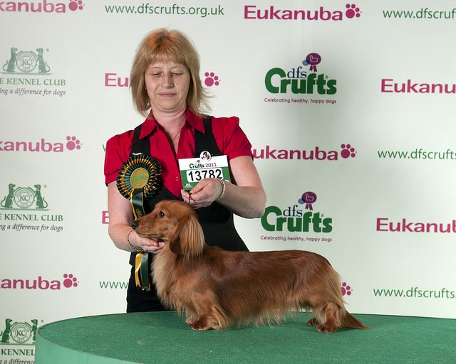 Dfs Crufts 2011 Dachshund Miniature Longhaired Best Of Breed