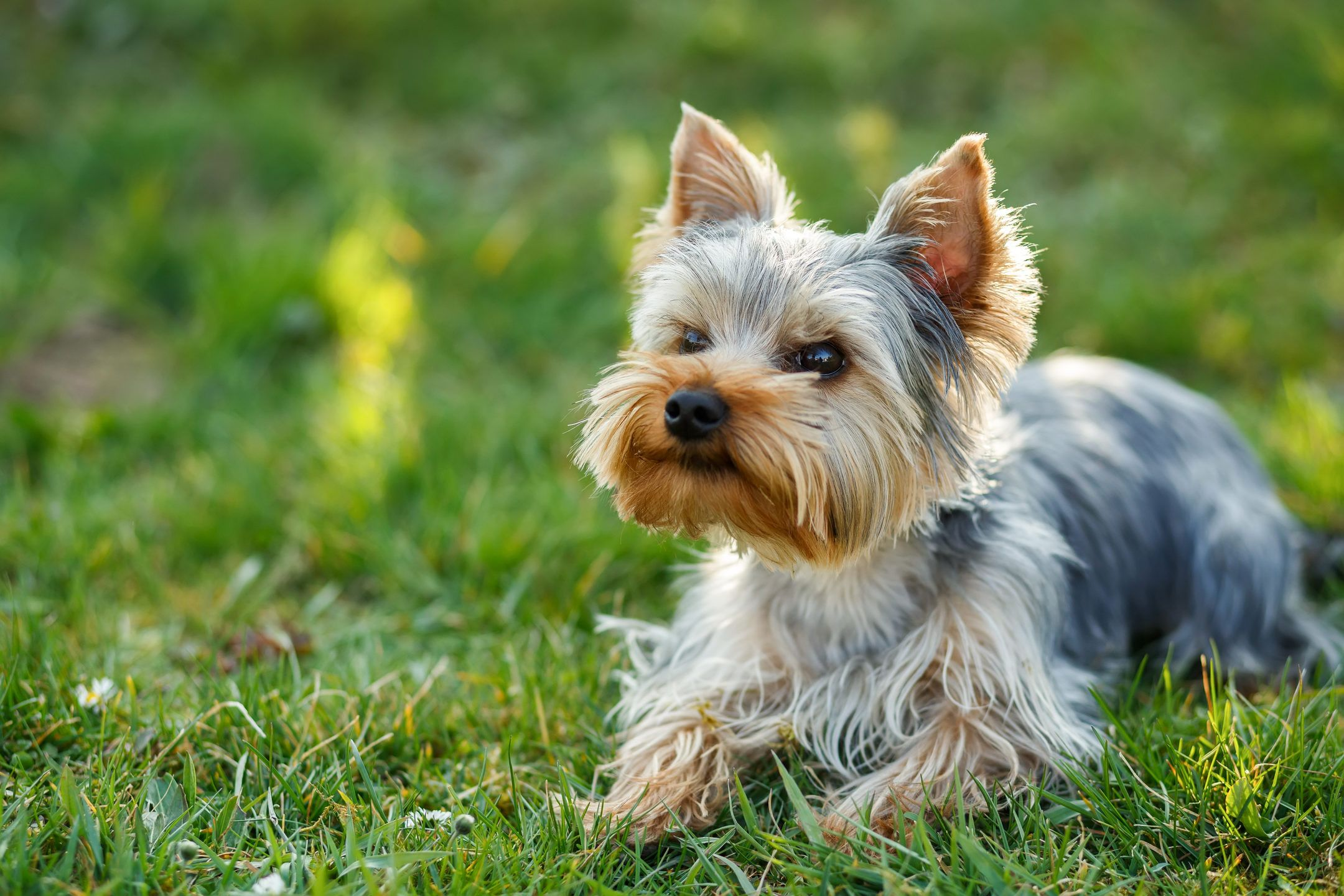 My yorkshire new tab u yorkies are one of the smallest dogs enjoy