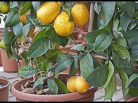 La Culture D Un Citronnier En Pot Faire Pousser Un Arbre Citronnier Potager Biologique