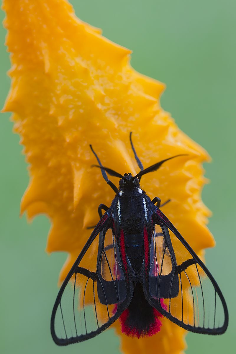 Scarlet-tipped Wasp Mimic Moth (Dinia eagrus)
